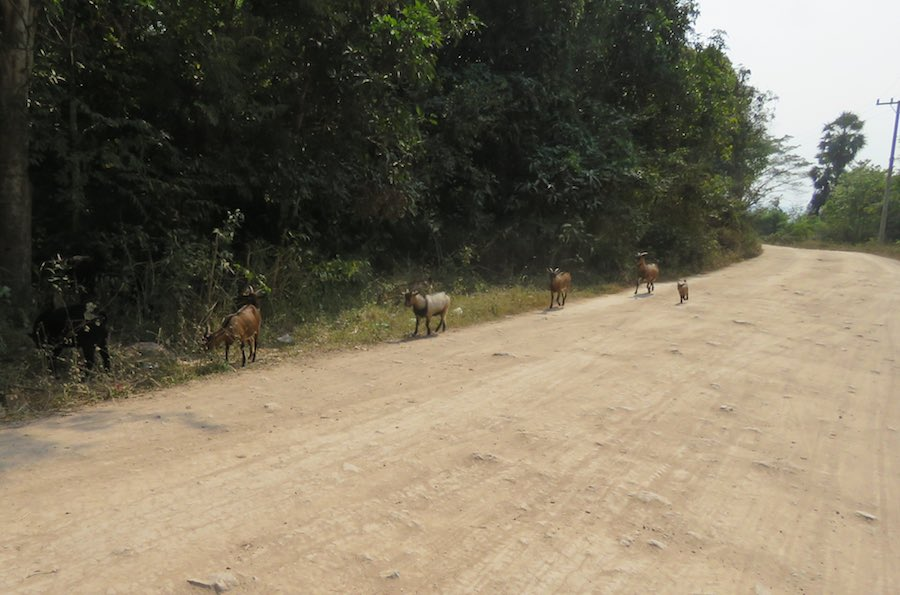 Goats on the dirt road