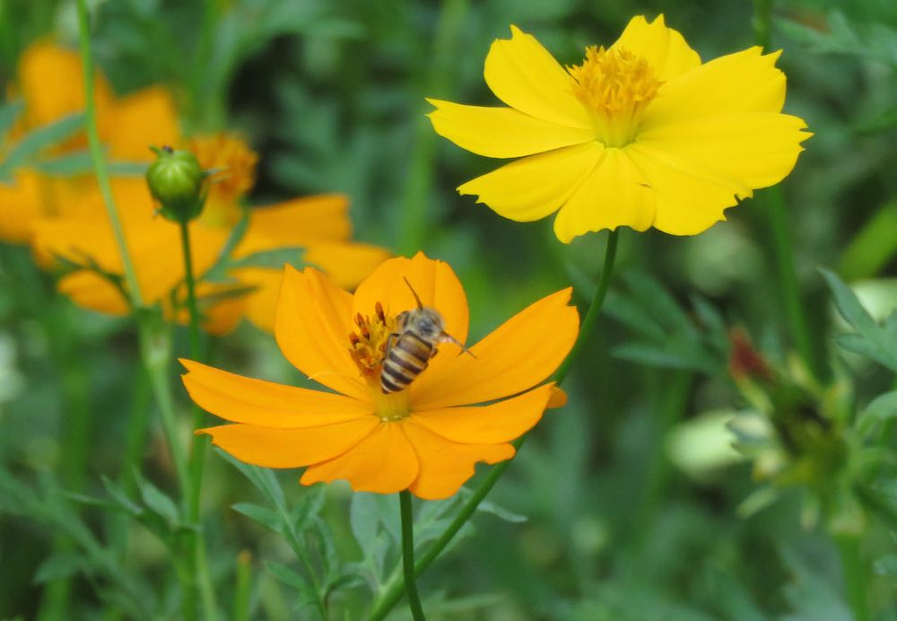 bee on orange flower with yellow flower in background