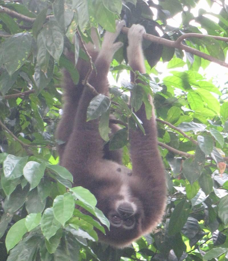Singapore Zoo, gibbon