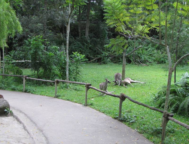 Singapore Zoo, kangaroos