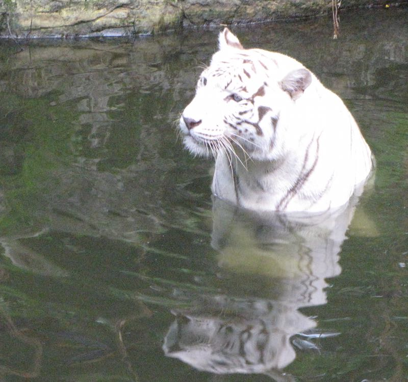 Singapore Zoo, white tiger