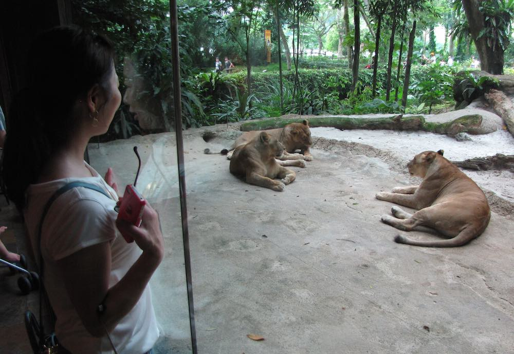 Singapore Zoo, woman viewing lions