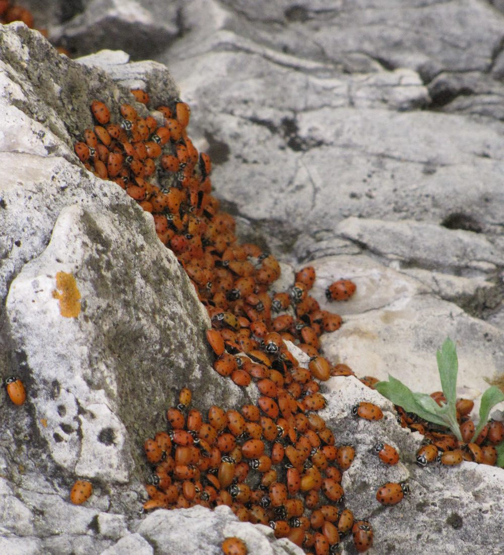 Lots of Ladybugs on white rocks