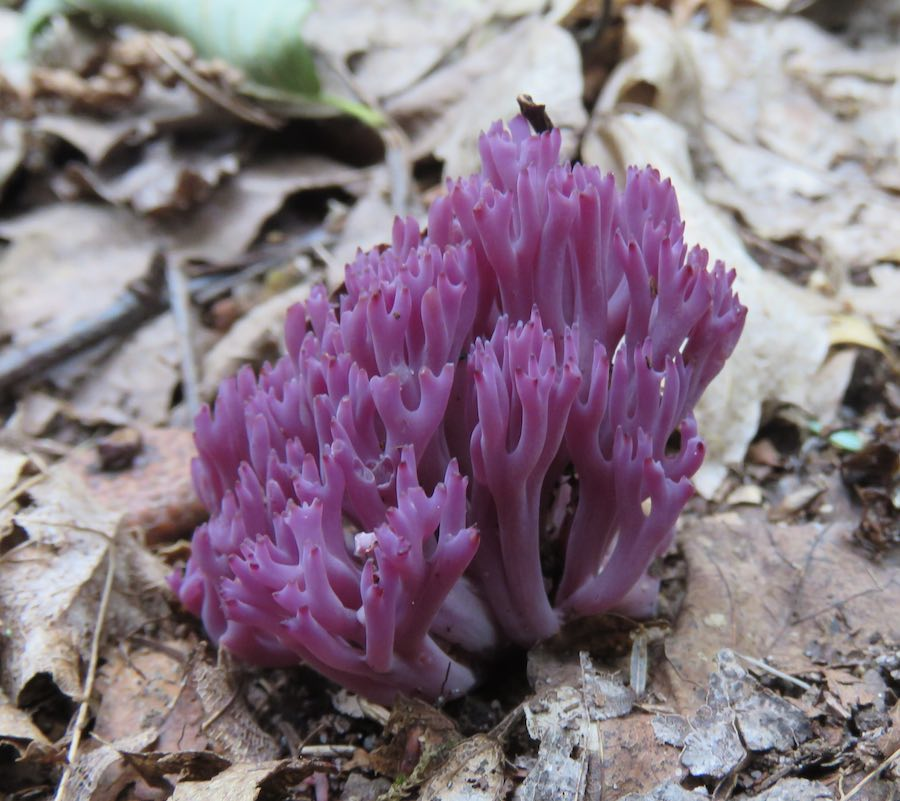 Purple Fungus growing through brown leaves