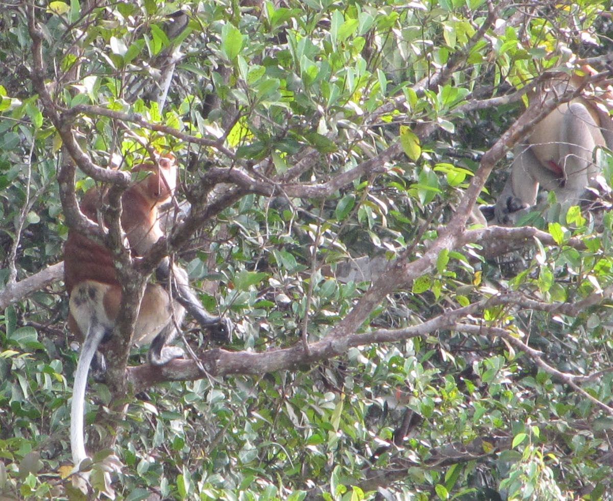 Proboscis monkeys in trees