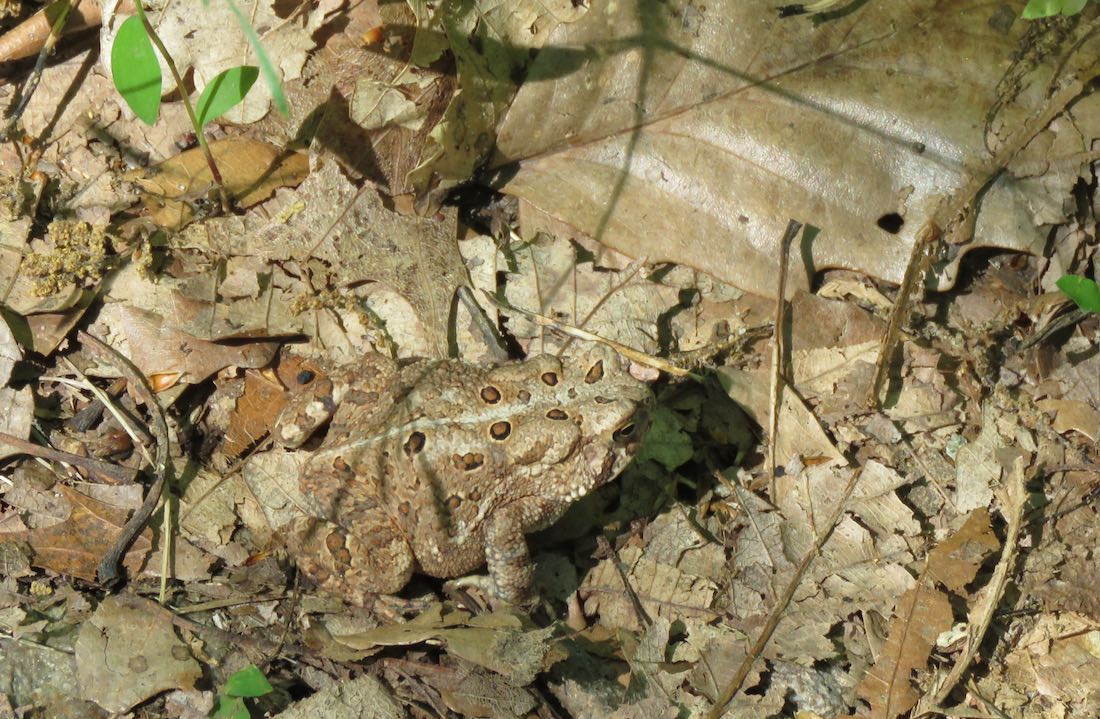 camouflaged toad blending into leaf litter on the ground