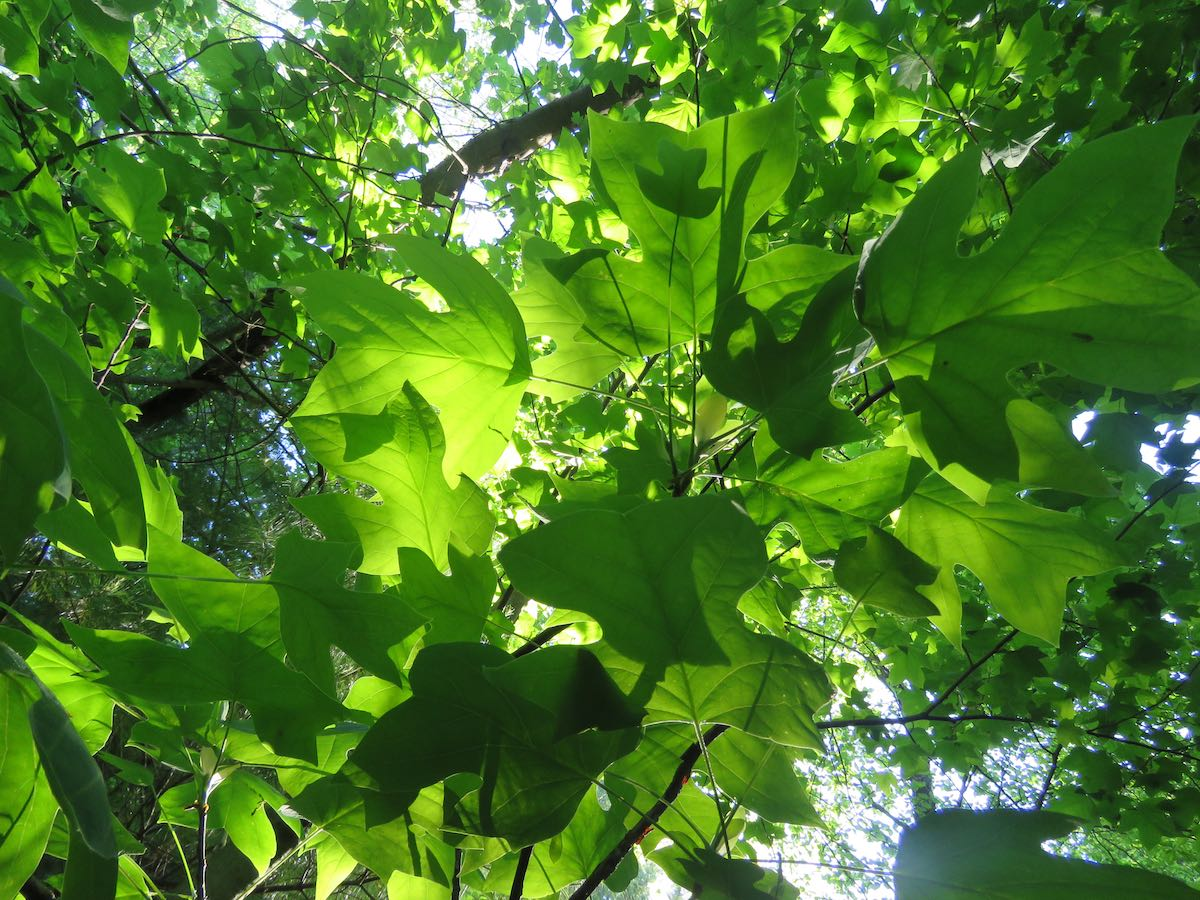 view up of green leaves with the sun shining through